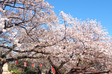 日本自助赏花季 邀您来体验